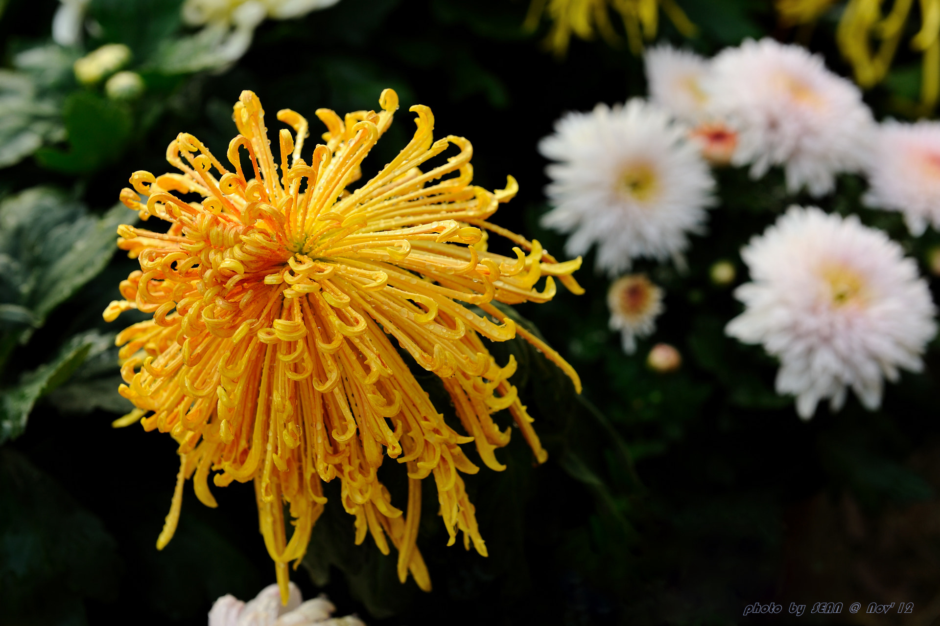 Photograph chrysanthemum by Sean Wu on 500px
