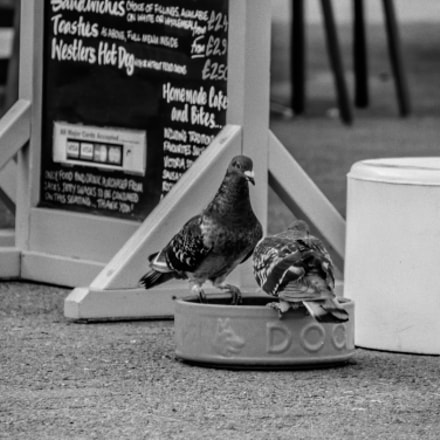 Pigeons Drinking, Panasonic DMC-GH4, Lumix G Vario 14-140mm F3.5-5.6 Asph. Power OIS