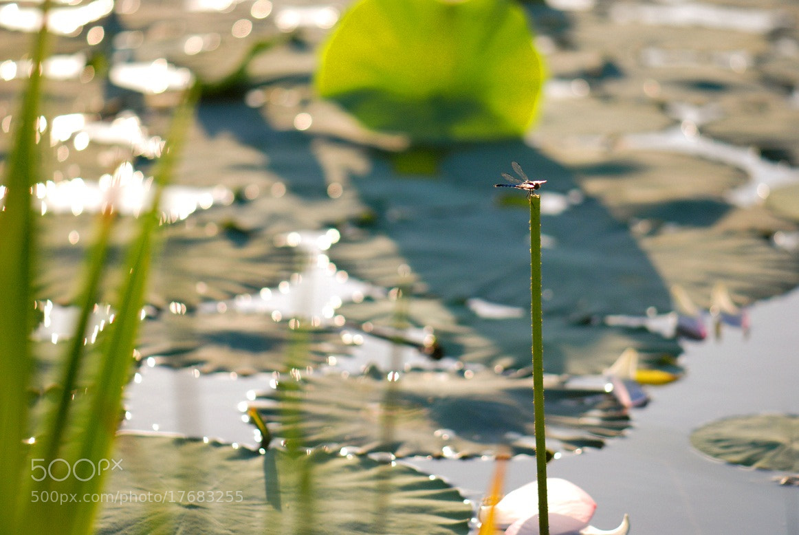 Photograph 继续蜻蜓 by No Rain on 500px