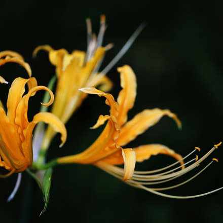Yellow Spider Lily, Canon EOS 6D, Canon EF 100mm f/2.8L Macro IS USM
