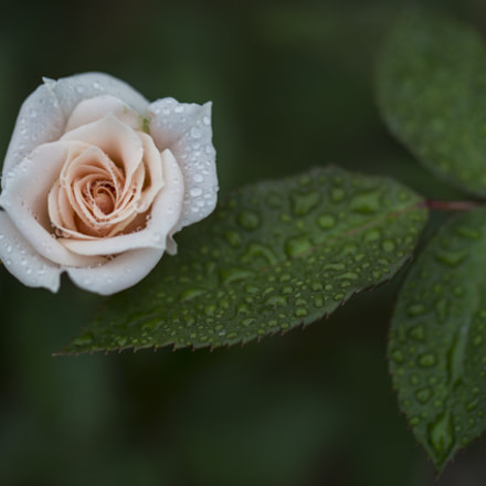 Rainy Rose Garden, Canon EOS 6D, Canon EF 100mm f/2.8L Macro IS USM