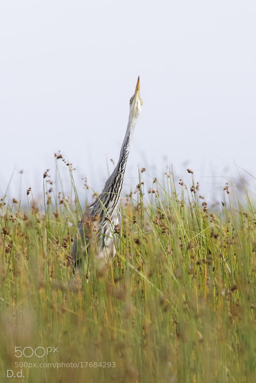 Photograph Grey heron by Davis Drazdovskis on 500px