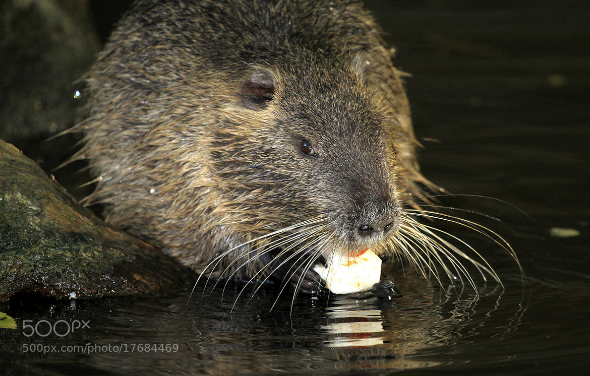 Photograph Nutria at his meal by Rainer Leiss on 500px