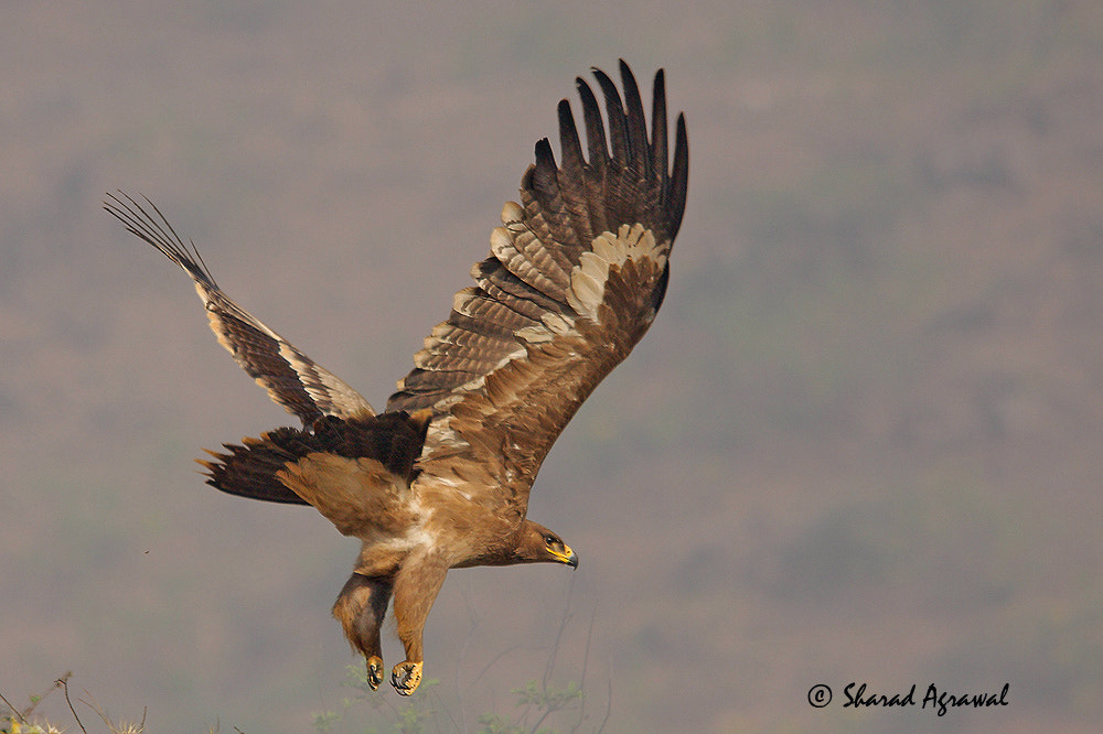 Photograph The Steppe Eagle..Full wing display  by Sharad Agrawal on 500px