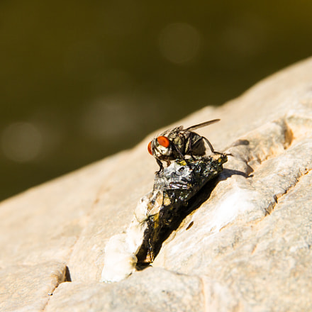 Fly lunch, Canon EOS 7D, Canon EF-S 15-85mm f/3.5-5.6 IS USM