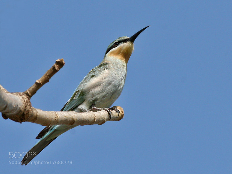 Photograph Blue-cheeked Bee-eater  by Aat Bender on 500px