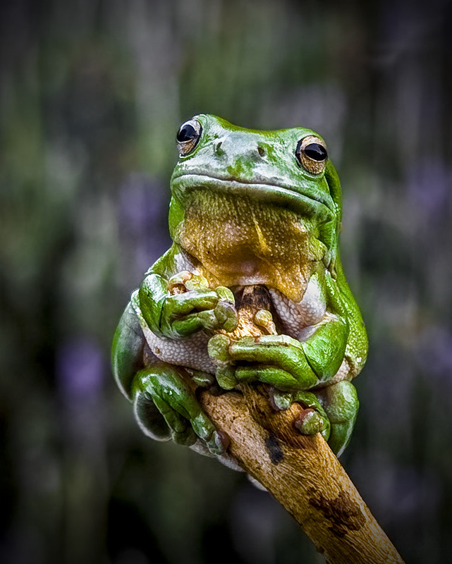 Photograph Green Tree Frog 2 by Rob  Sturman on 500px