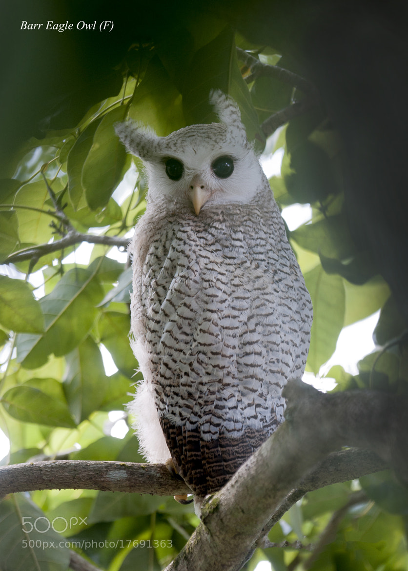 Photograph Barred Eagle Owl by Allan Seah on 500px
