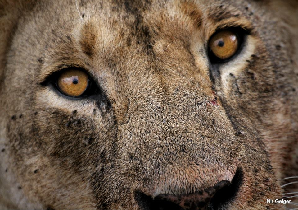Photograph lioness by Nir Geiger on 500px