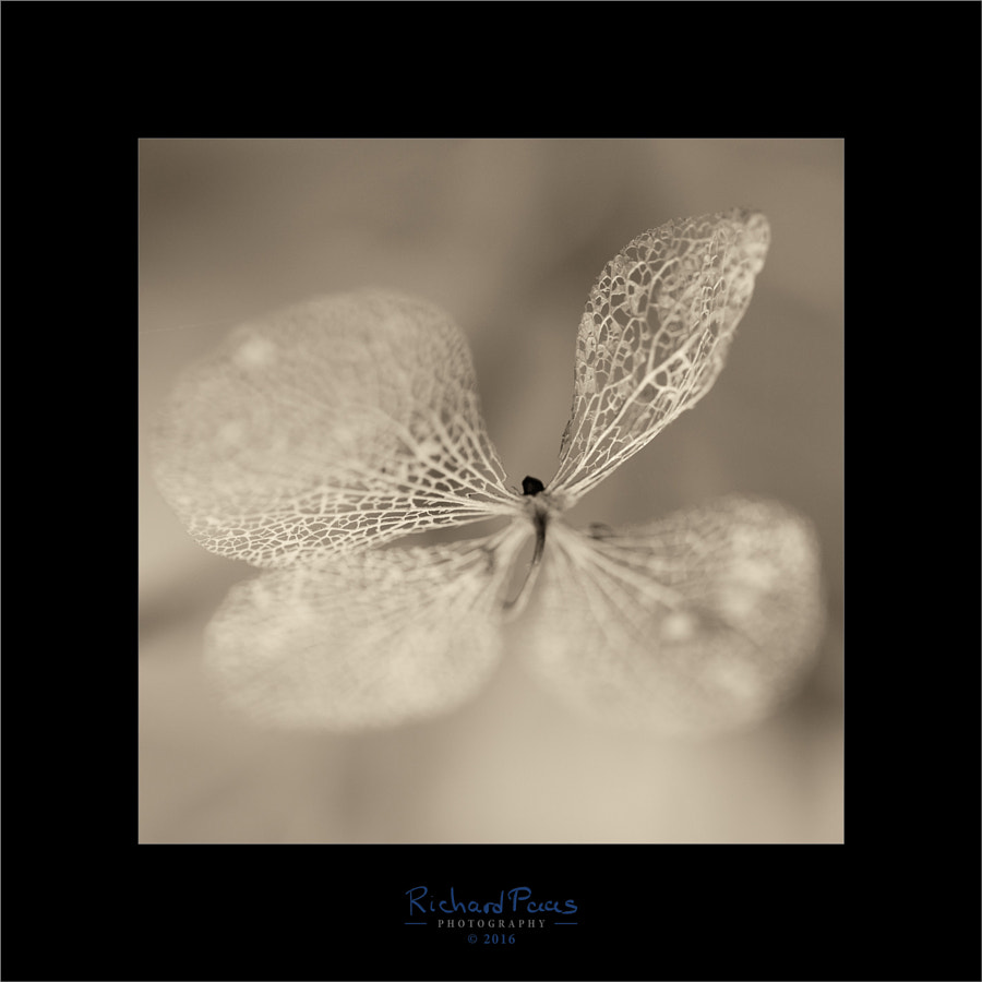 Skeleton Leaf by Richard Paas on 500px.com