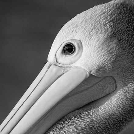 Pelican @ Monkey Mia