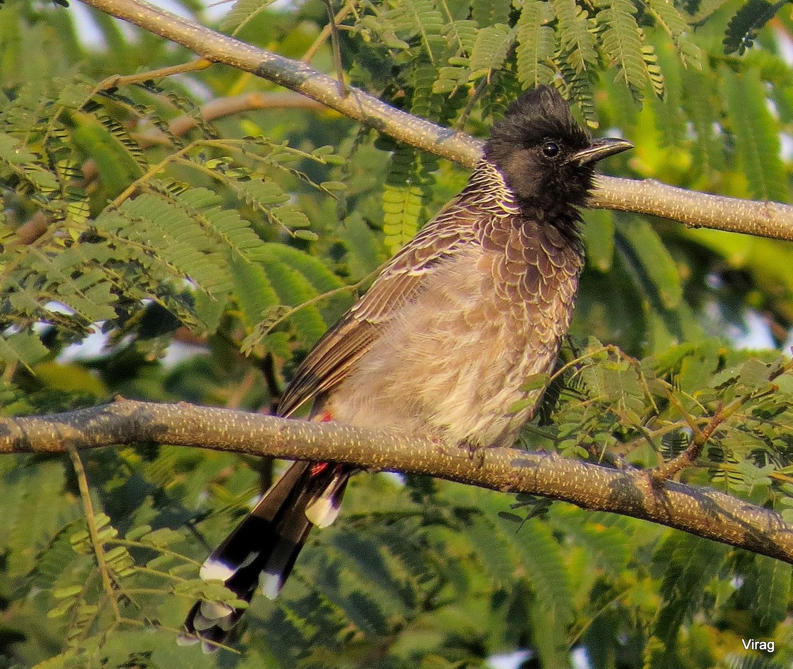 Photograph Red-vented Bulbul  by Virag Sharma on 500px