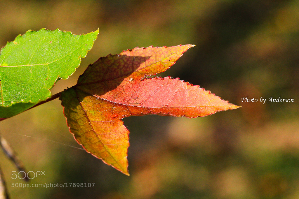 Photograph Autumn leaf by Anderson Han on 500px