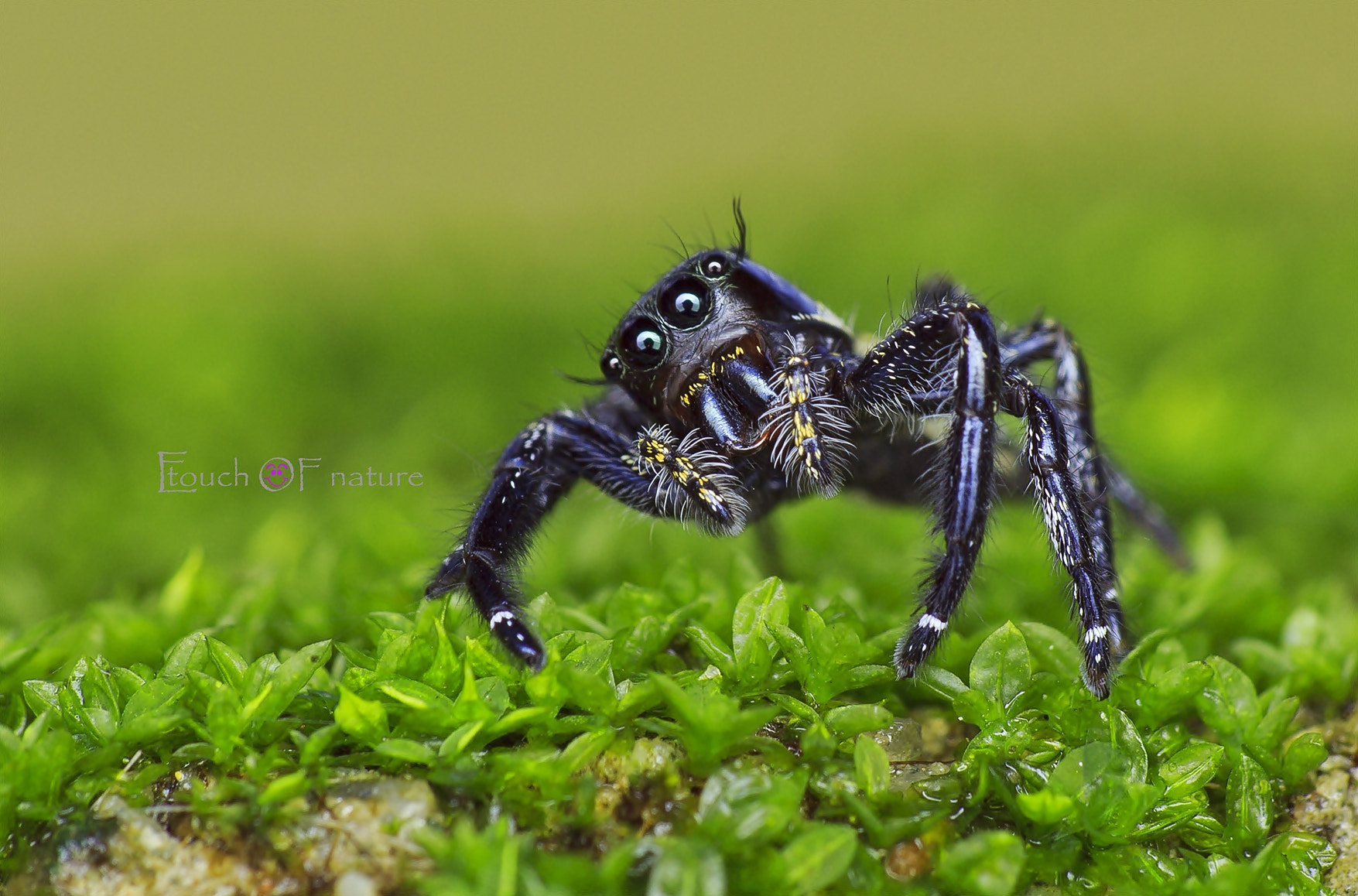 Photograph Jumping Spider by Esazyla Esa on 500px