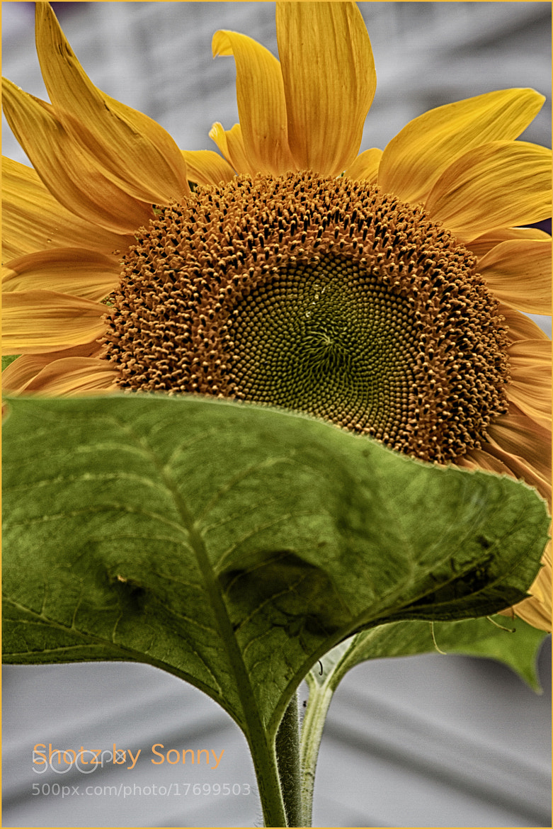 Photograph Sunflower by Sonny Hamauchi on 500px