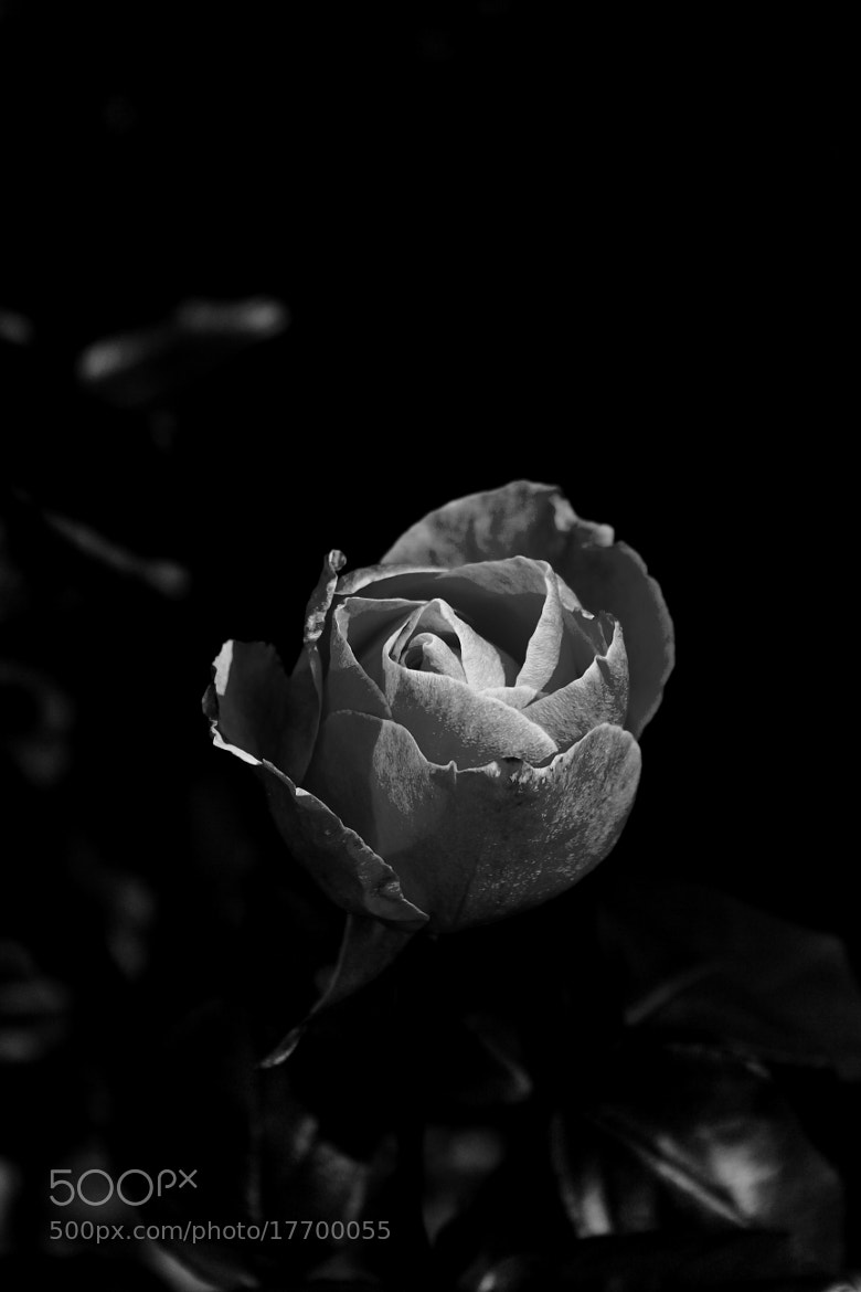 Photograph High Contrast Black and White Rose by Tanasa Alin on 500px