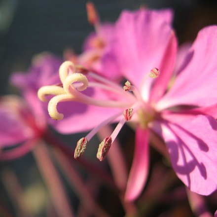 Fireweed bloom, Canon POWERSHOT SD700 IS