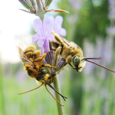 Long horned bees sleeping, Canon POWERSHOT SD700 IS