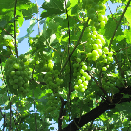 Grapes, Canon POWERSHOT A3400 IS