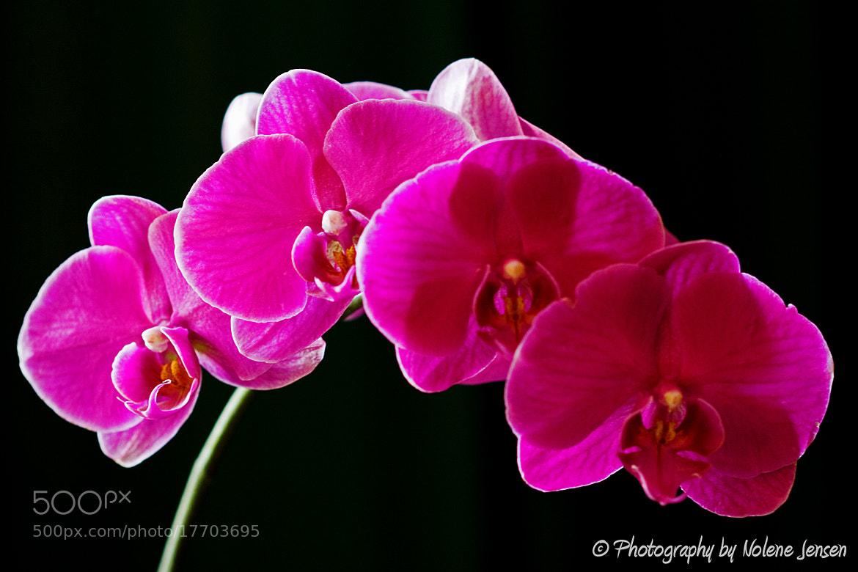 Photograph Pink on Black by Nolene Jensen on 500px