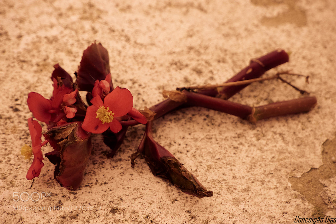 Photograph Abandoned almost wilted by Conceição Dias on 500px