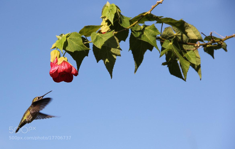Photograph Arcata Hummingbird by David Lingle on 500px