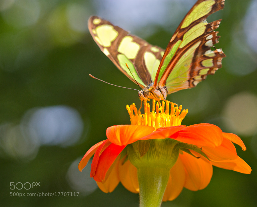 A Dido Butterfly stands on a Mexican Sunflower at Butterfly World, Coconut Creek, Florida.
