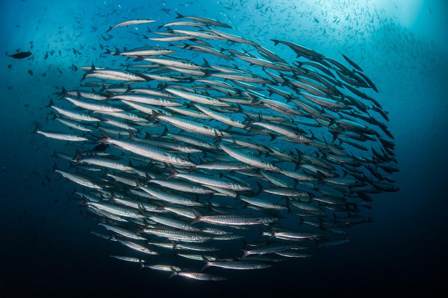 School of Barracudas in Galapagos
