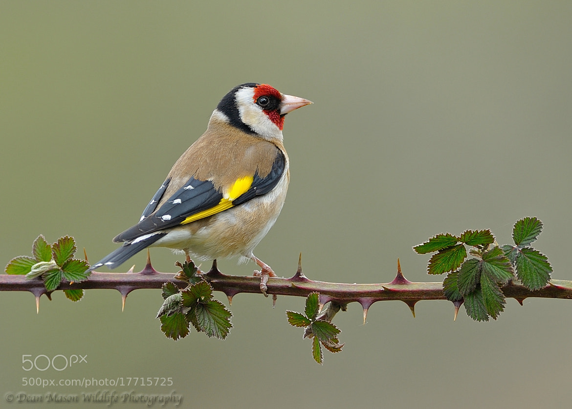 Photograph Goldfinch and Thorns by Dean Mason on 500px
