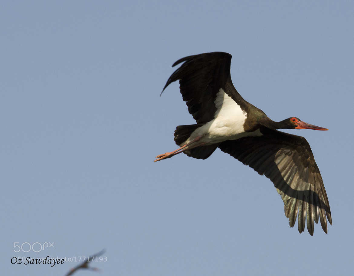 Photograph Black Stork by Oz Sawdayee on 500px