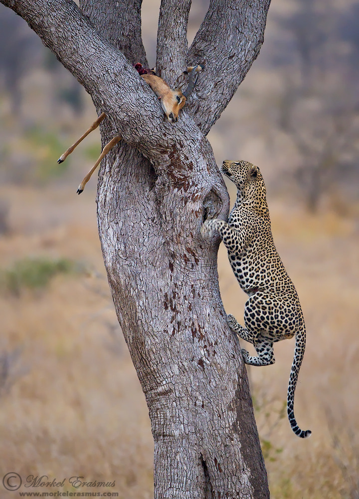 Photograph Leopard Ascent by Morkel Erasmus on 500px