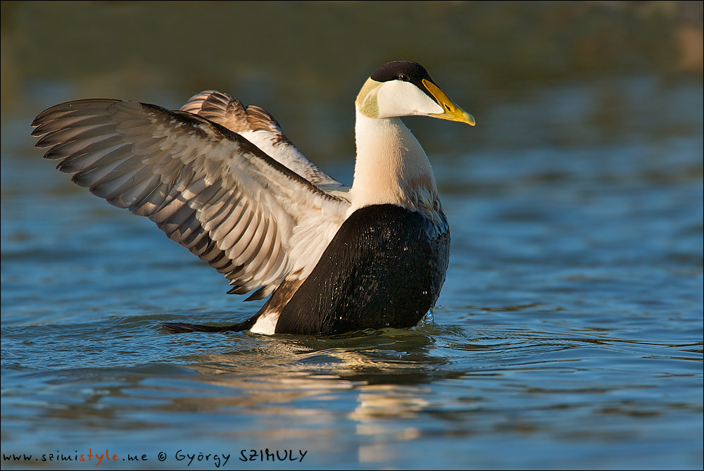 Photograph Common Eider (Somateria mollissima) by Gyorgy Szimuly on 500px