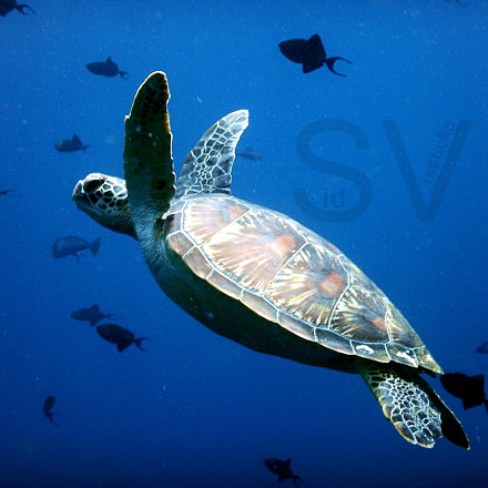 Sea Turtle Bunaken, Nikon COOLPIX AW130s