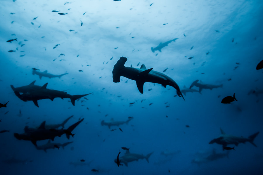 School of Hammerheads in Thermoclime