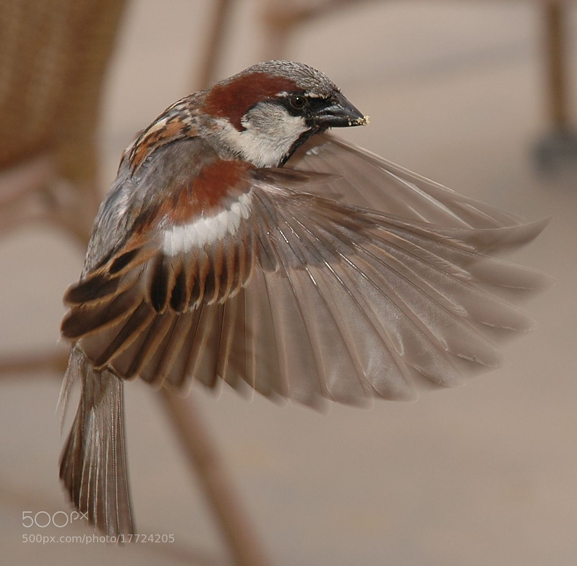 Photograph flying house sparrow by Bob Bleijerveld on 500px