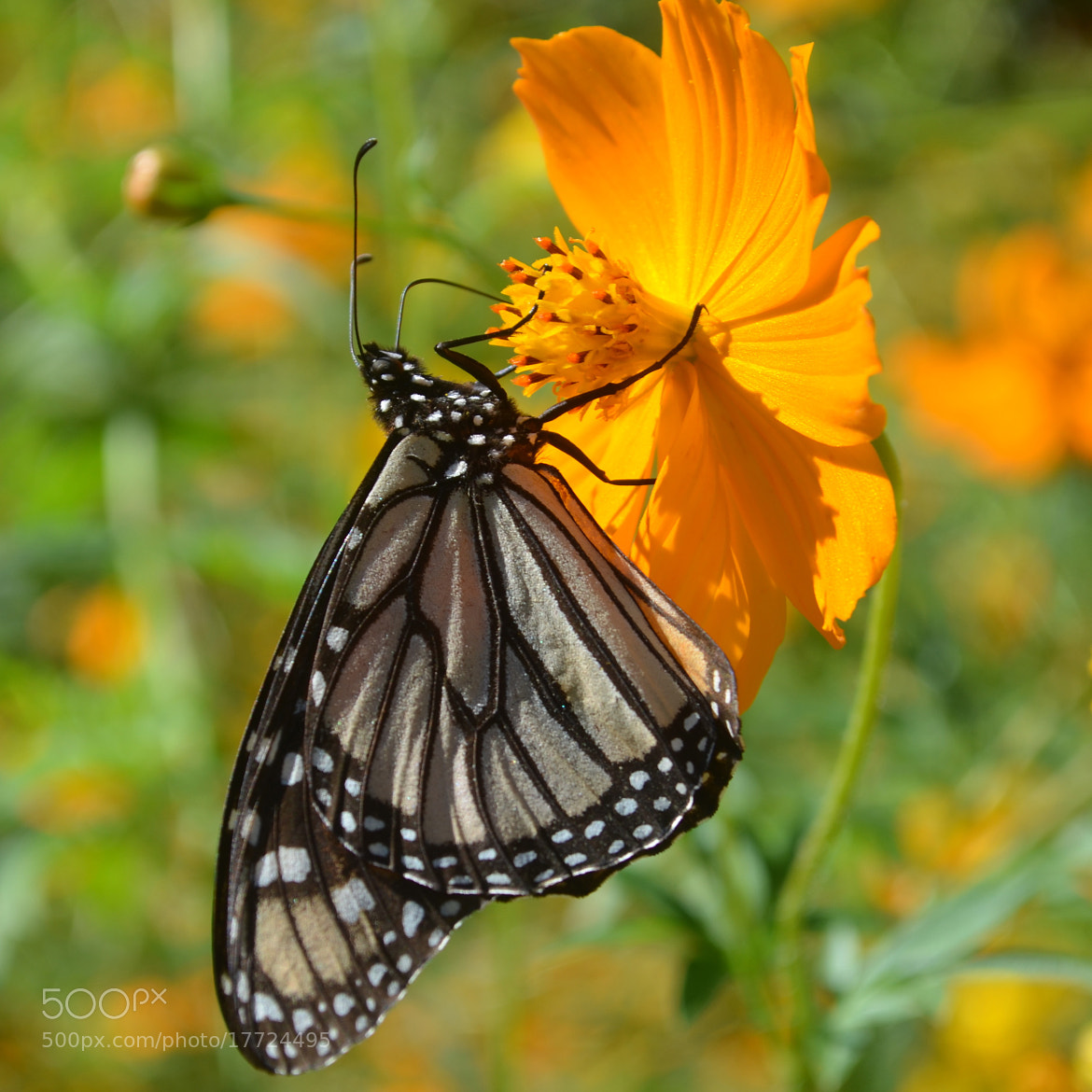 Photograph Monarch Butterfly by Steven Bach on 500px
