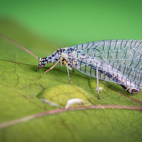 green lacewing n°1