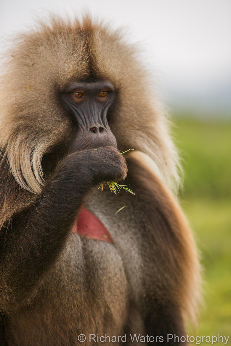 Photograph Gelada by Richard Waters on 500px