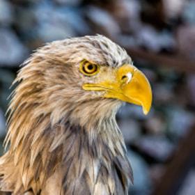 Adler | Eagle