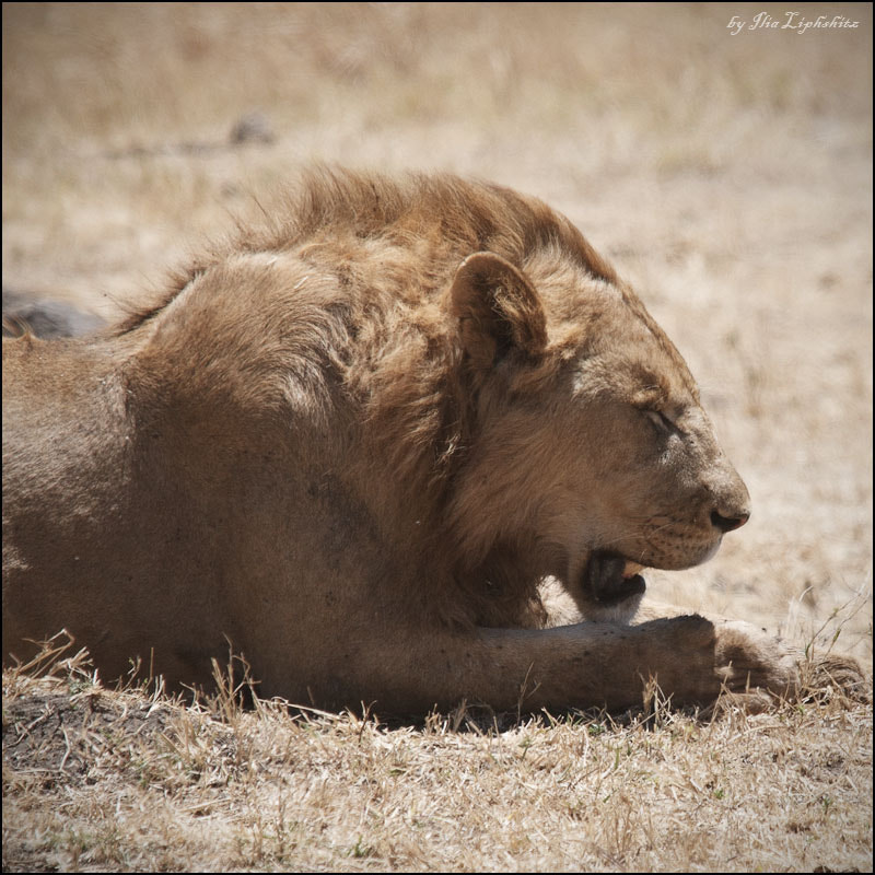 Photograph Resting young lion №1 by Ilia Liphshitz on 500px