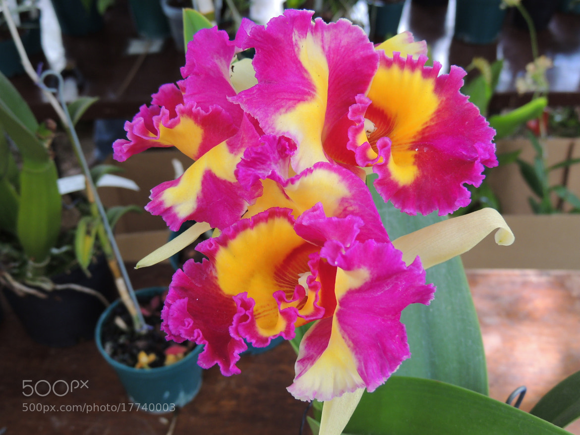 Photograph Orchid by harsuam  on 500px