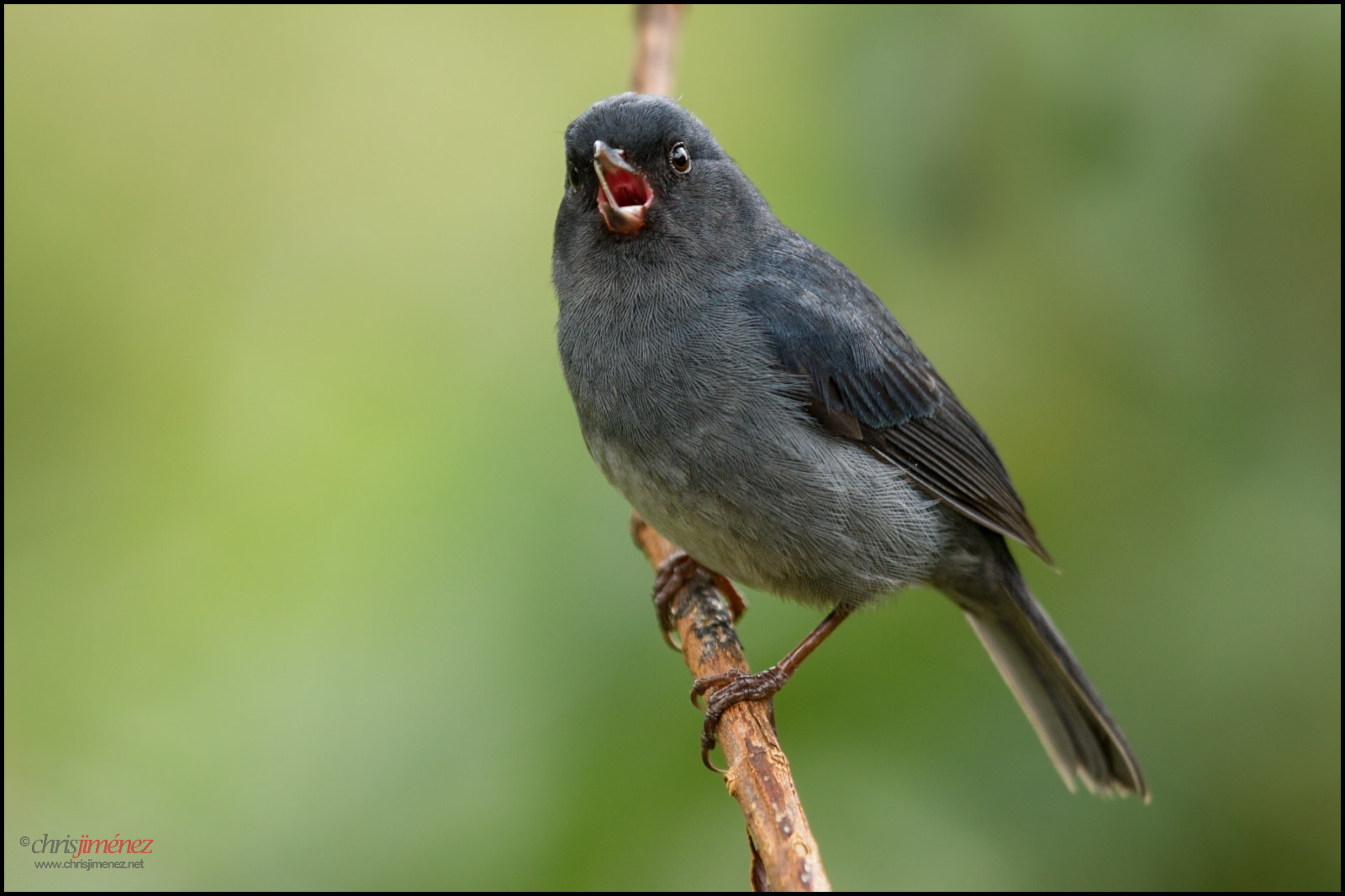 Photograph Slaty Flowerpiercer by Chris Jimenez on 500px