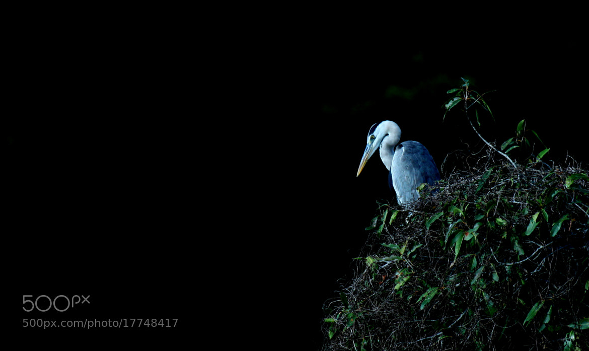 Photograph Grey Heron guards it territory by Ravi Meghani on 500px