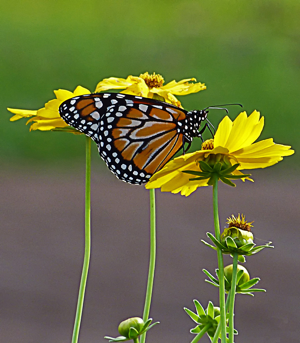 Photograph Monarch Butterfly by Pedro Henrique on 500px
