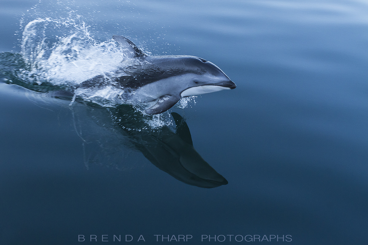 Photograph Breaching Dolphin by Brenda Tharp on 500px