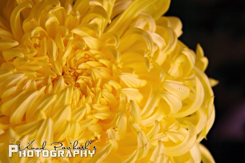 Photograph Chrysanthemum Flower by Vinod Parihash on 500px