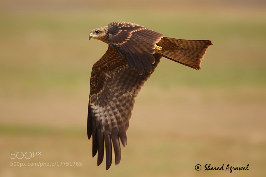 Photograph Black Eared Kite  by Sharad Agrawal on 500px