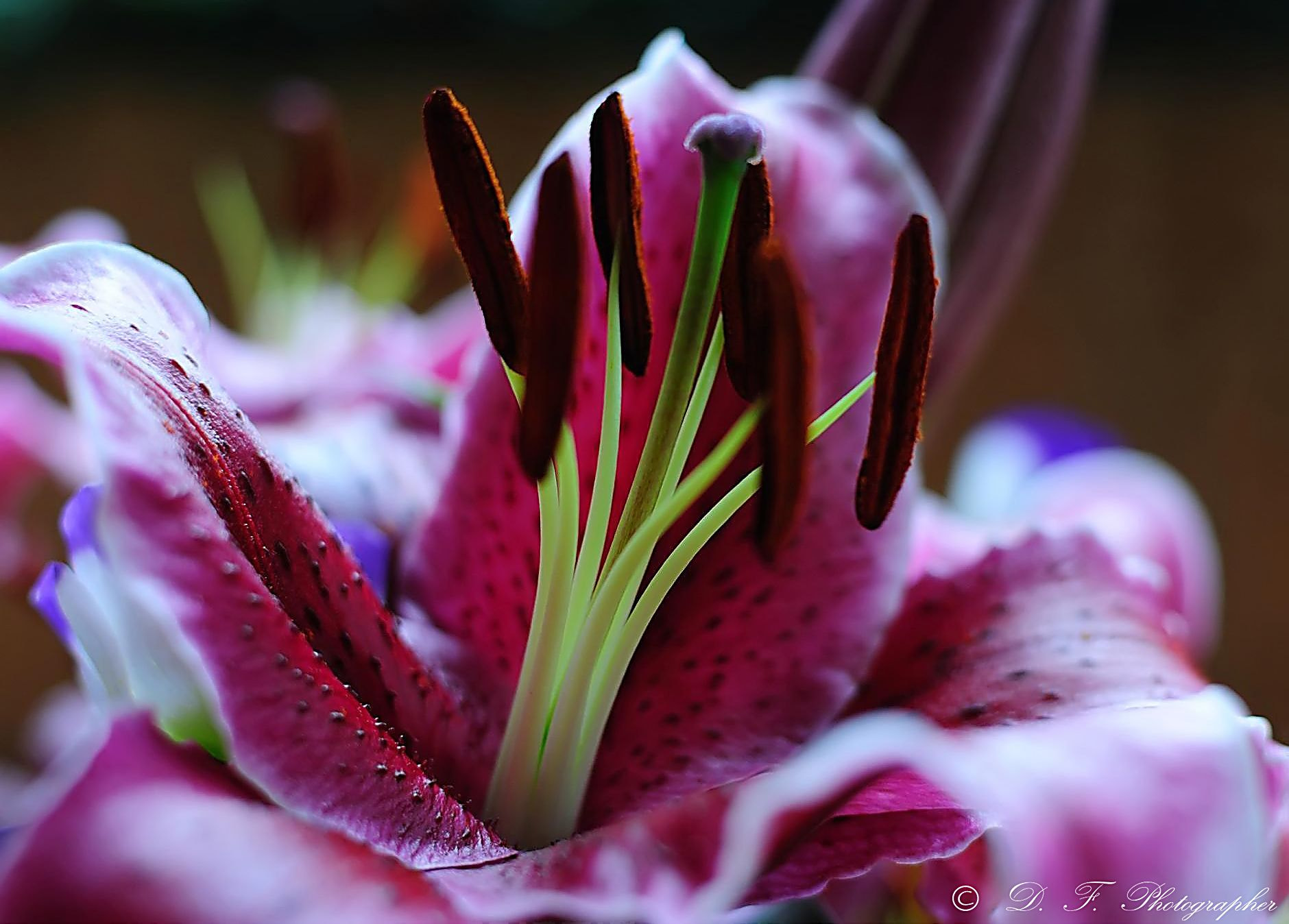 Photograph Lilium by Daniele Forestiere on 500px