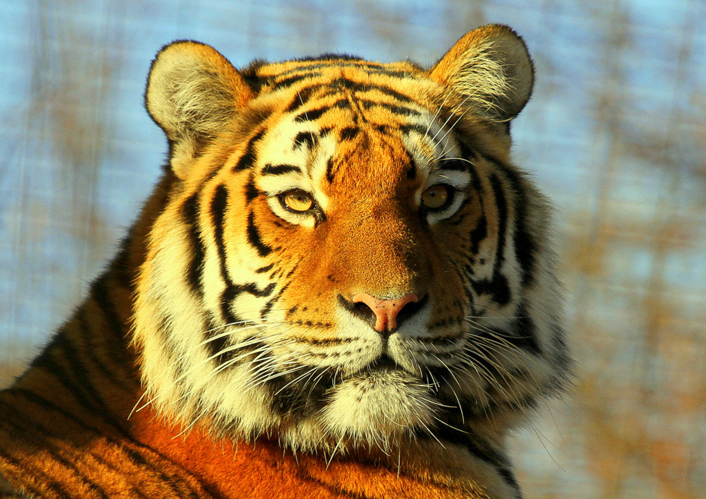 Photograph Portrait of a tigress by Rainer Leiss on 500px