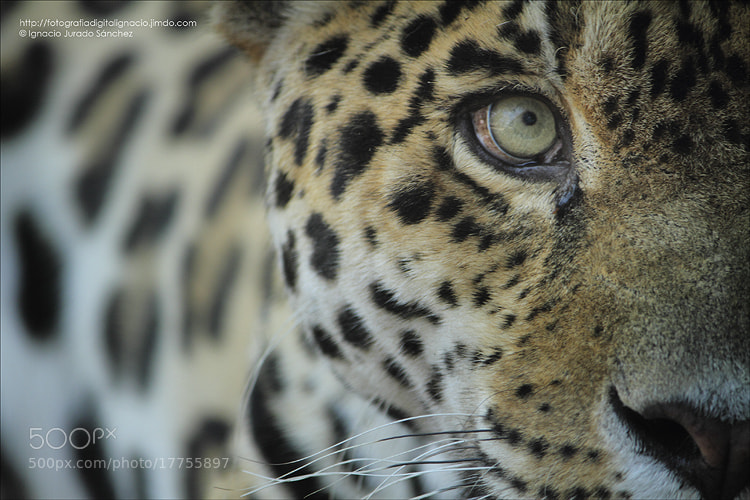 Photograph Jaguar by Ignacio Jurado on 500px